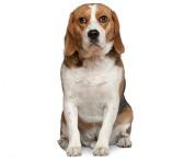 bedste-hund-til-boern-beagle