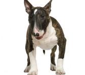 bedste-hund-til-boern-bull-terrier