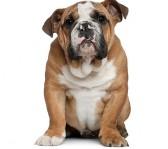 bedste-hund-til-boern-bulldog