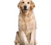 bedste-hund-til-boern-golden-retriever