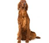 bedste-hund-til-boern-irsk-setter
