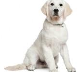 bedste-hund-til-boern-labrador-retriever