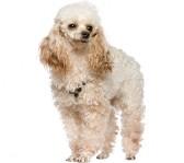 bedste-hund-til-boern-puddel