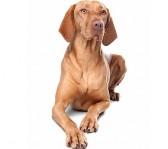 bedste-hund-til-boern-vizsla